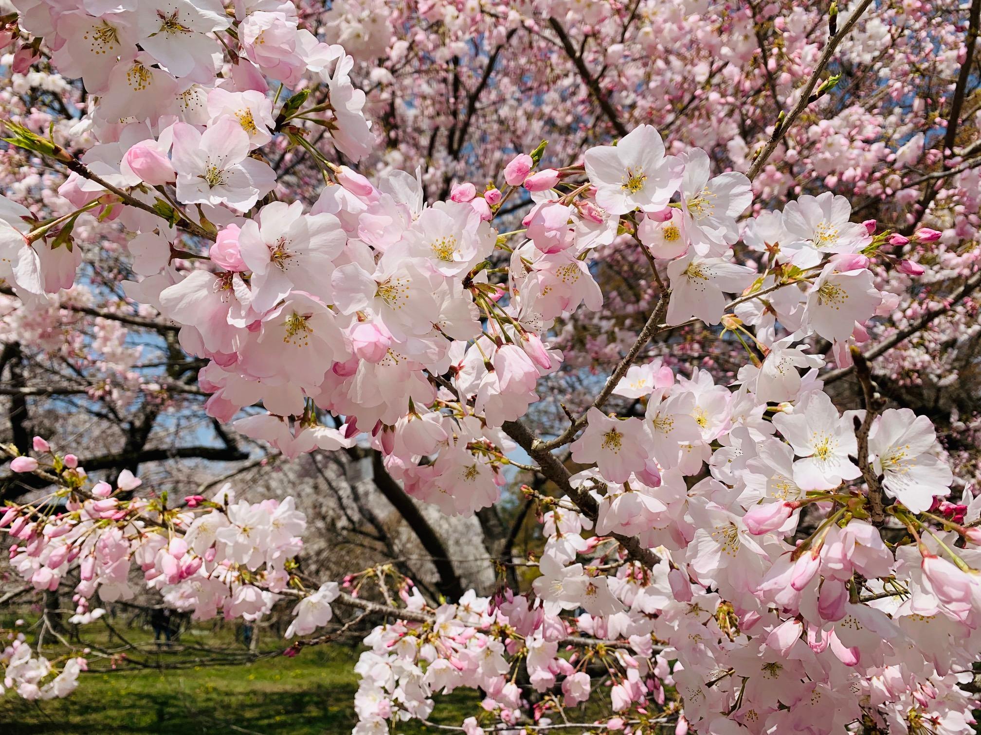 京都各地で桜が満開です♪